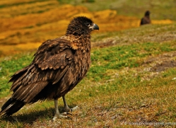 caracara-falkland-islands-4965-copyright-photographers-on-safari-com