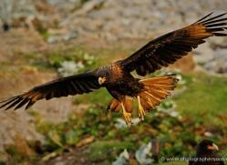 caracara-falkland-islands-4968-copyright-photographers-on-safari-com