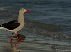 dolphin-gull-falkland-islands-4983-copyright-photographers-on-safari-com