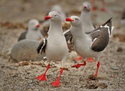 dolphin-gull-falkland-islands-4985-copyright-photographers-on-safari-com