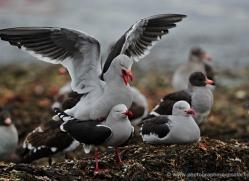 dolphin-gull-falkland-islands-4987-copyright-photographers-on-safari-com