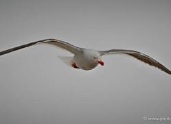 dolphin-gull-falkland-islands-4988-copyright-photographers-on-safari-com