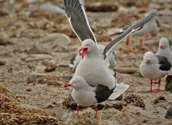 dolphin-gull-falkland-islands-4989-copyright-photographers-on-safari-com
