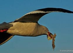 dolphin-gull-falkland-islands-4990-copyright-photographers-on-safari-com