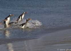 gentoo-penguin-copyright-photographers-on-safari-com-9104
