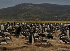 gentoo-penguin-falkland-islands-4863-copyright-photographers-on-safari-com