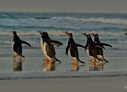 gentoo-penguin-falkland-islands-4865-copyright-photographers-on-safari-com