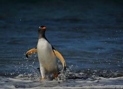 gentoo-penguin-falkland-islands-4868-copyright-photographers-on-safari-com
