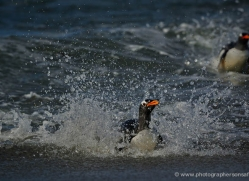 gentoo-penguin-falkland-islands-4869-copyright-photographers-on-safari-com