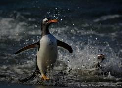 gentoo-penguin-falkland-islands-4870-copyright-photographers-on-safari-com