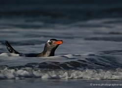 gentoo-penguin-falkland-islands-4871-copyright-photographers-on-safari-com