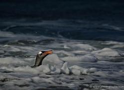 gentoo-penguin-falkland-islands-4872-copyright-photographers-on-safari-com