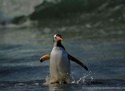 gentoo-penguin-falkland-islands-4873-copyright-photographers-on-safari-com