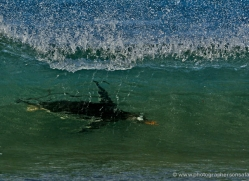 gentoo-penguin-falkland-islands-4877-copyright-photographers-on-safari-com