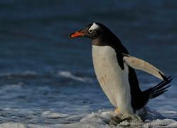 gentoo-penguin-falkland-islands-4878-copyright-photographers-on-safari-com