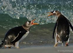 gentoo-penguin-falkland-islands-4879-copyright-photographers-on-safari-com