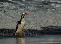 gentoo-penguin-falkland-islands-4880-copyright-photographers-on-safari-com