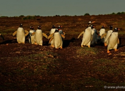 gentoo-penguin-falkland-islands-4883-copyright-photographers-on-safari-com