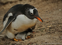 gentoo-penguin-falkland-islands-4885-copyright-photographers-on-safari-com