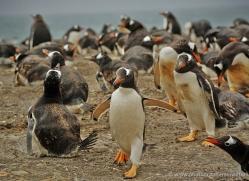 gentoo-penguin-falkland-islands-4890-copyright-photographers-on-safari-com