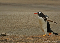 gentoo-penguin-falkland-islands-4891-copyright-photographers-on-safari-com