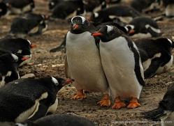 gentoo-penguin-falkland-islands-4892-copyright-photographers-on-safari-com