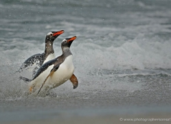 gentoo-penguin-falkland-islands-4893-copyright-photographers-on-safari-com
