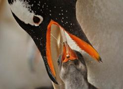gentoo-penguin-falkland-islands-4895-copyright-photographers-on-safari-com