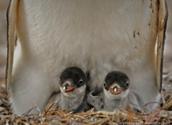 gentoo-penguin-falkland-islands-4897-copyright-photographers-on-safari-com