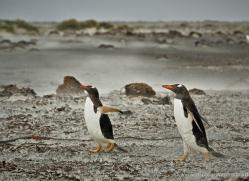 gentoo-penguin-falkland-islands-4898-copyright-photographers-on-safari-com