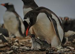 gentoo-penguin-falkland-islands-4899-copyright-photographers-on-safari-com