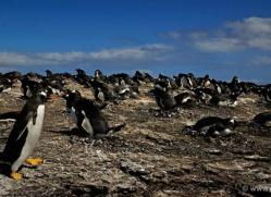 gentoo-penguin-falkland-islands-4902-copyright-photographers-on-safari-com