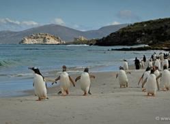 gentoo-penguin-falkland-islands-4903-copyright-photographers-on-safari-com