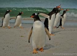 gentoo-penguin-falkland-islands-4905-copyright-photographers-on-safari-com