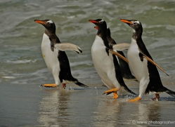 gentoo-penguin-falkland-islands-4908-copyright-photographers-on-safari-com