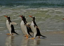 gentoo-penguin-falkland-islands-4909-copyright-photographers-on-safari-com