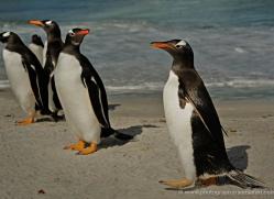 gentoo-penguin-falkland-islands-4910-copyright-photographers-on-safari-com