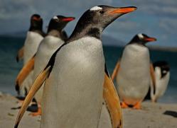 gentoo-penguin-falkland-islands-4912-copyright-photographers-on-safari-com