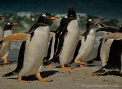 gentoo-penguin-falkland-islands-4913-copyright-photographers-on-safari-com