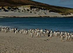 gentoo-penguin-falkland-islands-4917-copyright-photographers-on-safari-com