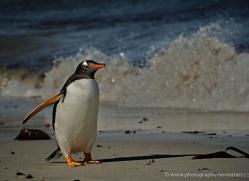 gentoo-penguin-falkland-islands-4920-copyright-photographers-on-safari-com