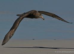 giant-petrel-falkland-islands-4978-copyright-photographers-on-safari-com