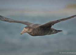 giant-petrel-falkland-islands-4980-copyright-photographers-on-safari-com