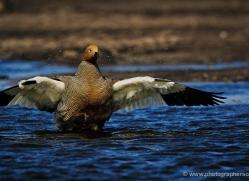 kelp-goose-falkland-islands-4993-copyright-photographers-on-safari-com