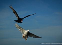 kelp-goose-falkland-islands-4995-copyright-photographers-on-safari-com