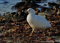 kelp-goose-falkland-islands-4997-copyright-photographers-on-safari-com