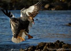 kelp-goose-falkland-islands-4998-copyright-photographers-on-safari-com