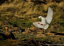 kelp-goose-falkland-islands-5001-copyright-photographers-on-safari-com