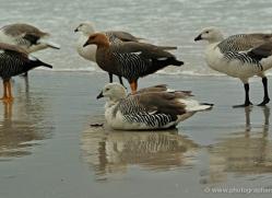 kelp-goose-falkland-islands-5002-copyright-photographers-on-safari-com