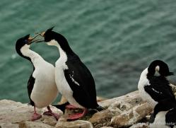 king-cormorant-falkland-islands-4928-copyright-photographers-on-safari-com